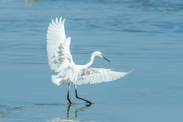A photo of a snowy egret with wings open over a tidal pool