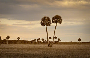 A landscape photograph by Mike Ring of two cabbage palm trees