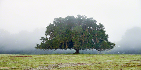 A photo of a live oak tree in the fog