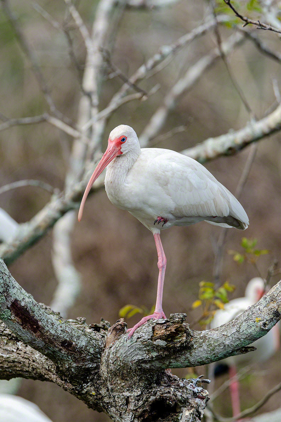 A photo of a roosting American White Ibis