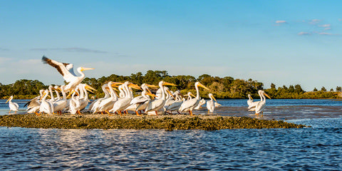 a photo of a group of white pelicans on an oyster bar
