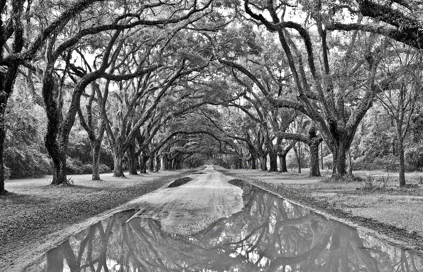 A photo of a tunnel of Oak trees at Wormsloe Plantation