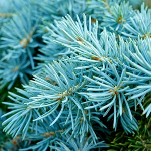 Blue Spruce *NEW*