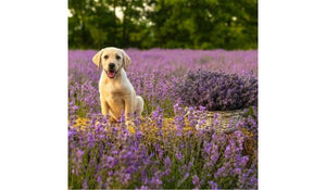 Yes. Lavender Essential Oil Can Gently and Safely Calm Your Dog - And More