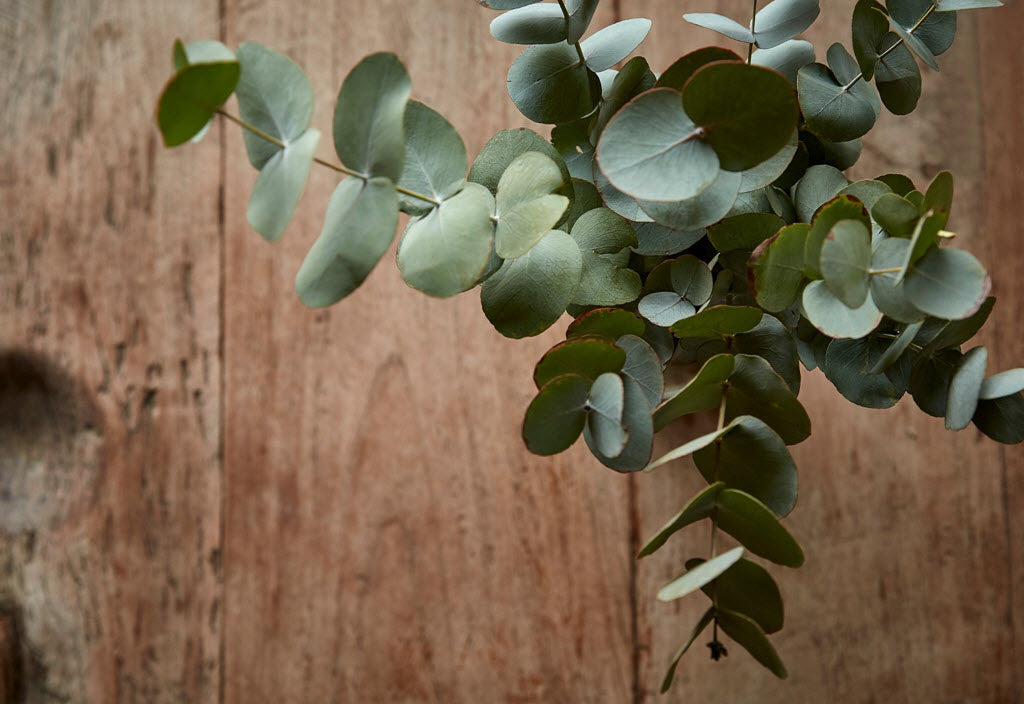 eucalyptus-uses-and-benefits-sonoma-lavender-article