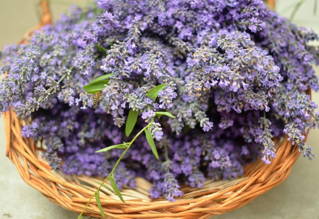 sonoma-lavender-essential-oil-to-get-rid-of-anxiety