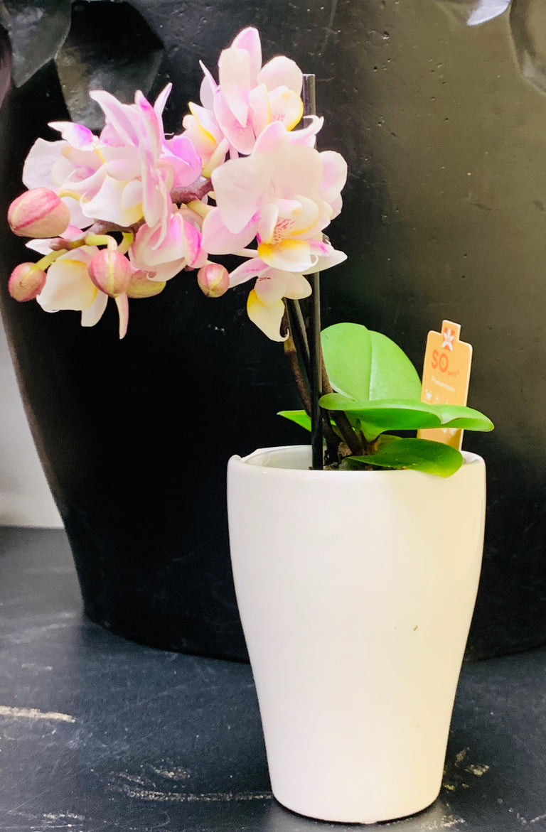 Mini Orchideen Pflanze