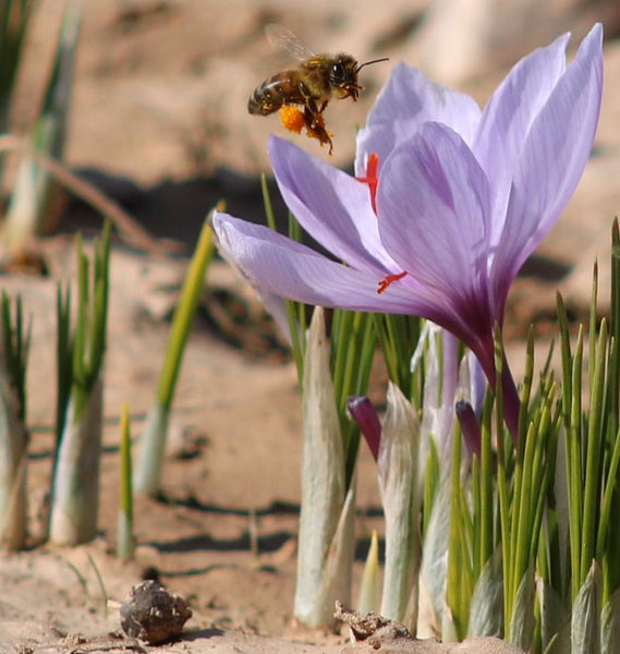 bees inspecting saffron