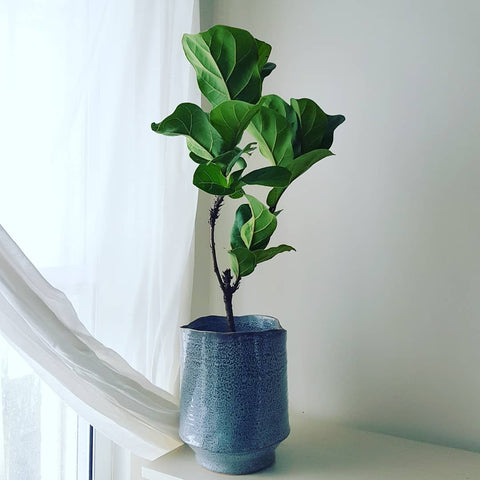 Fiddle leaf fig by window