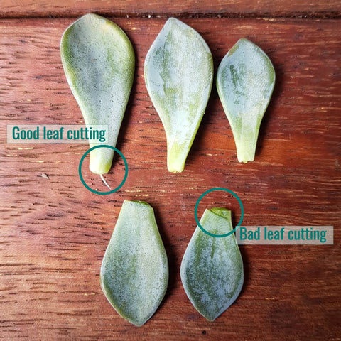 Succulent leaf cuttings - PlantGirl