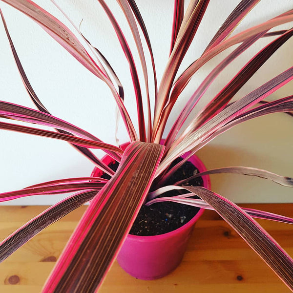 Electric Pink Cordyline