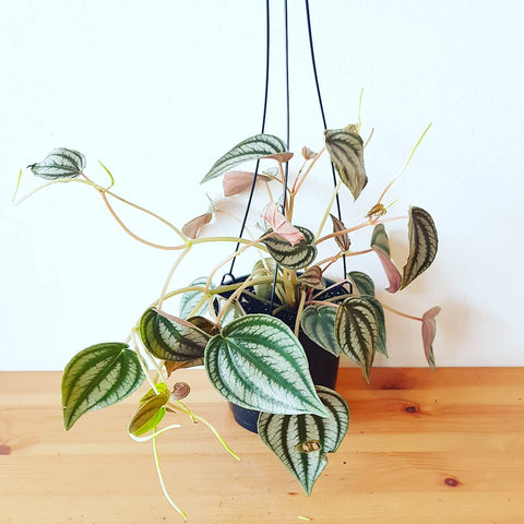 Red Watermelon Peperomia Hanger (Turboensis)