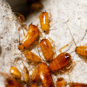Red Runner Turkestan Roaches