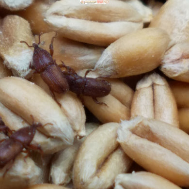 Complete Wheat Weevil Culture Kits