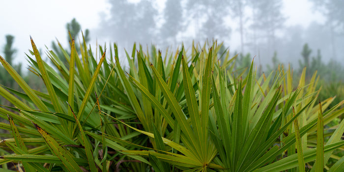 Saw Palmetto: A Natural Treasure
