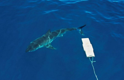 Drones and AI Ward Off Shark Attacks as Predators Hunt Closer to Shore