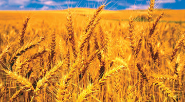Why Wheat is Bad For Your Health