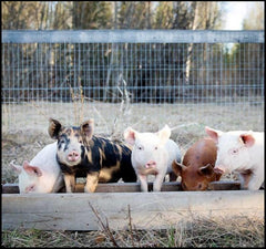 Swine Equipment & Supplies