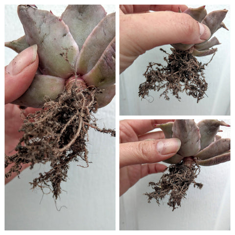 Succulents Roots Pruning Zying