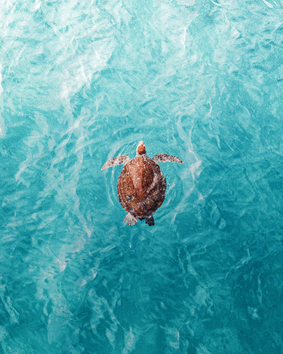 Sea Turtle ~ from above