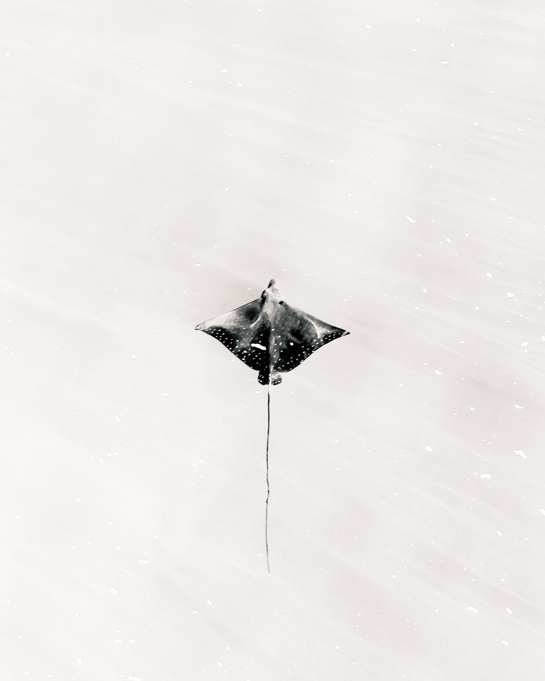 B&W Eagle Ray
