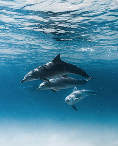 Curious Dolphins