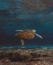 Load image into Gallery viewer, Lay Elliot Island Sea Turtle