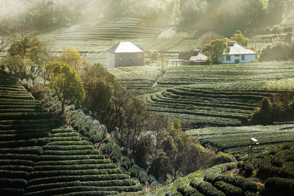 Long Wu Dragon Well Tea Farm
