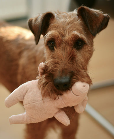 dog hold stuffed pig plush toy in the mouth