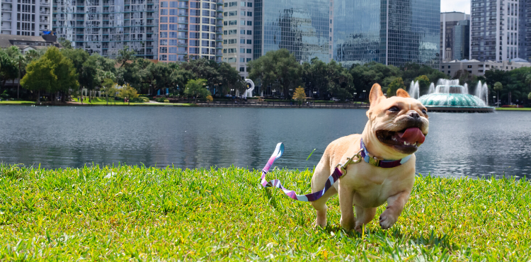 Mimosa Wearing Metric Floral Padded Dog Collar and Dog Leash With Padded Handle in Downtown Orlando Lake Eola