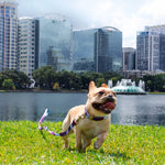 Mimosa the french bulldog running while wearing Metric Floral dog collar and leash
