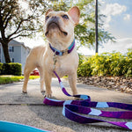 Metric Floral - Padded Dog Collar - 6 Foot Dog Leash With Padded Handle - Orlando Florida - Mimosa Standing Taking a Photo - French Bulldog
