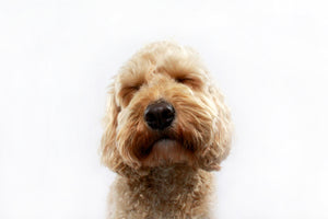 Dog Allergies: How to Tell and What to Do
