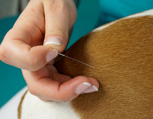 Acupuncture for Canines: The Beaming Benefits