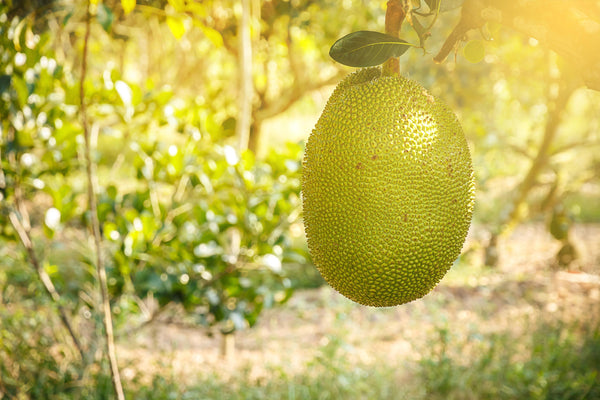 Why is Jackfruit Healthy? How to use it and love it!