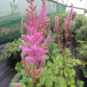 Astilbe chinensis 'Pumila'