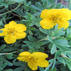 Potentilla fruticosa 'Goldstar'