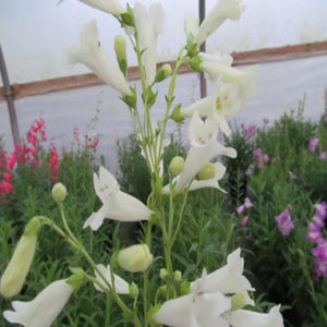 Penstemon pensham  'Wedding Day'