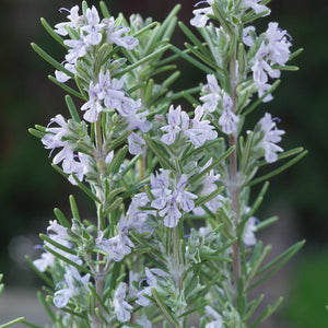 Rosemary officinalis 'Miss Jessopp's Upright'