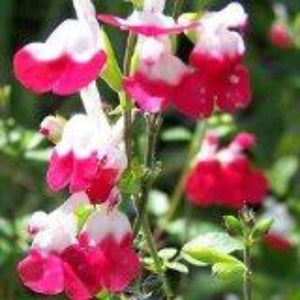 Salvia x jamensis 'Hot Lips