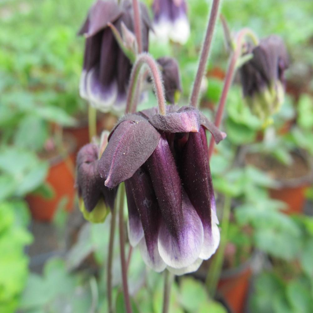 Aquilegia 'Double Pleat Blackberry'