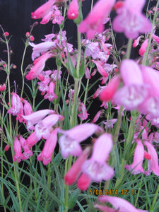 Penstemon 'Apple Blossom'