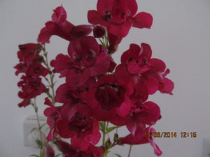 Penstemon 'Burgundy'