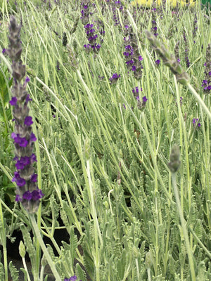 Lavandula × ginginsii 'Goodwin Creek Grey'