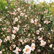 ALONSOA (MASK FLOWER) SHELL PINK :: 100 seeds