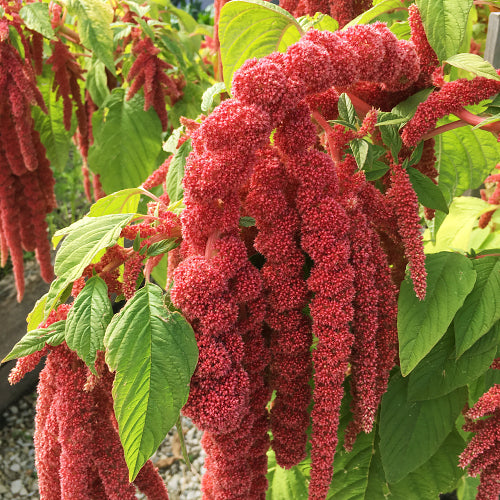 AMARANTH CORAL FOUNTAIN :: 100 seeds