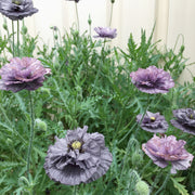 POPPY AMAZING GREY :: 50 seeds