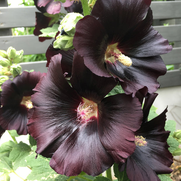 HOLLYHOCK ARABIAN NIGHTS :: 25 seeds