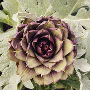 ARTICHOKE PURPLE HEADED :: HEIRLOOM :: 20 seeds