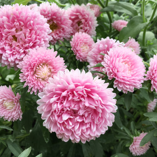 ASTER THOUSAND WONDERS ROSE :: 50 seeds